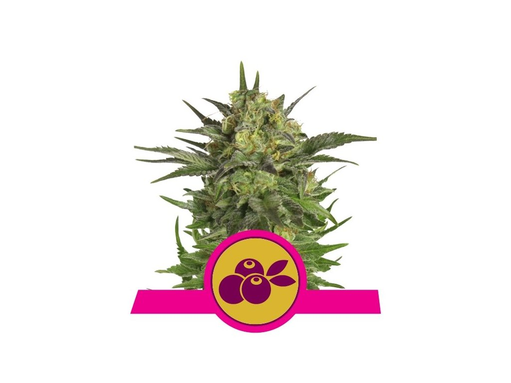 Royal Queen Seeds Haze Berry, feminizovaná semena marihuany, 3ks