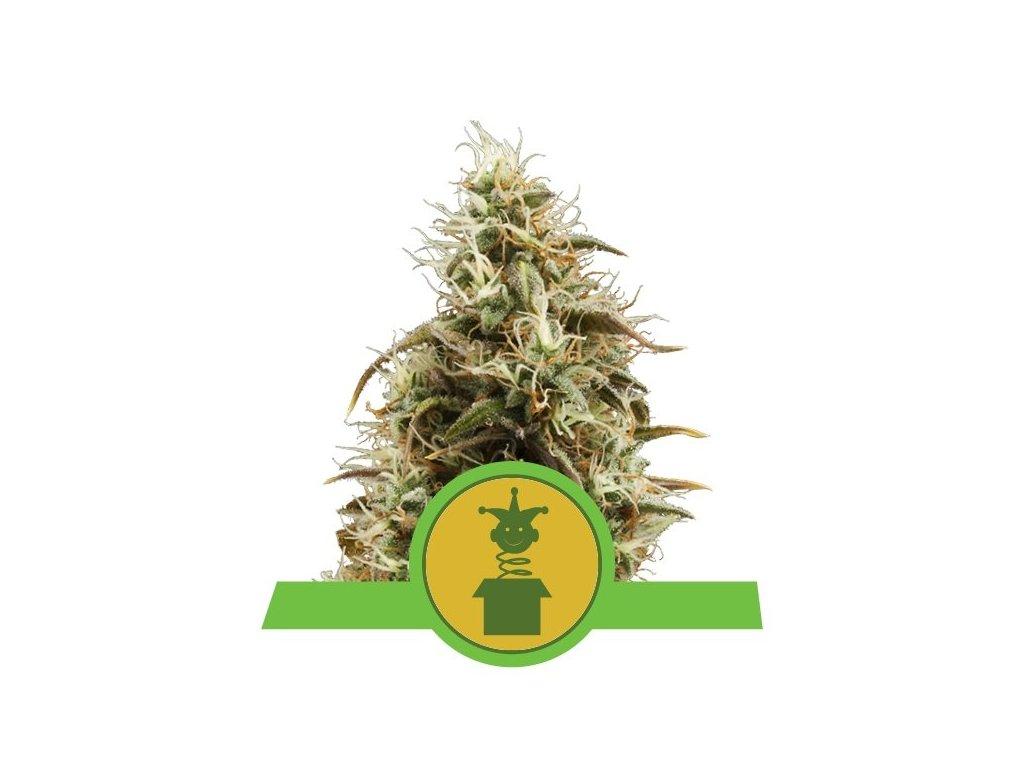 Royal Queen Seeds Royal Jack Automatic, feminizovaná semena marihuany, samonakvétací, 3ks