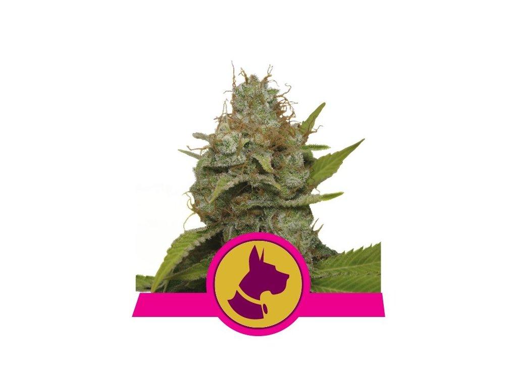 Royal Queen Seeds Kali Dog, feminizovaná konopná semínka, 5ks