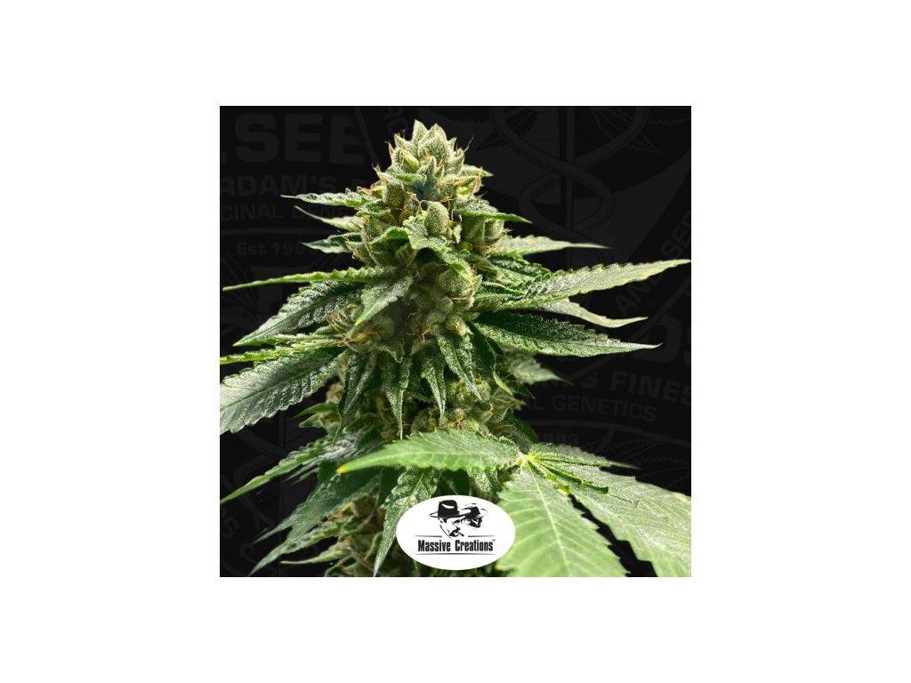 T.H. Seeds Melon Vader, feminizovaná semínka konopí, 5ks