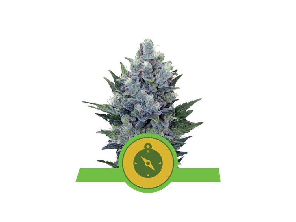 Royal Queen Seeds Northern Light Automatic, feminizovaná semínka marihuany, samonakvétací, 10ks