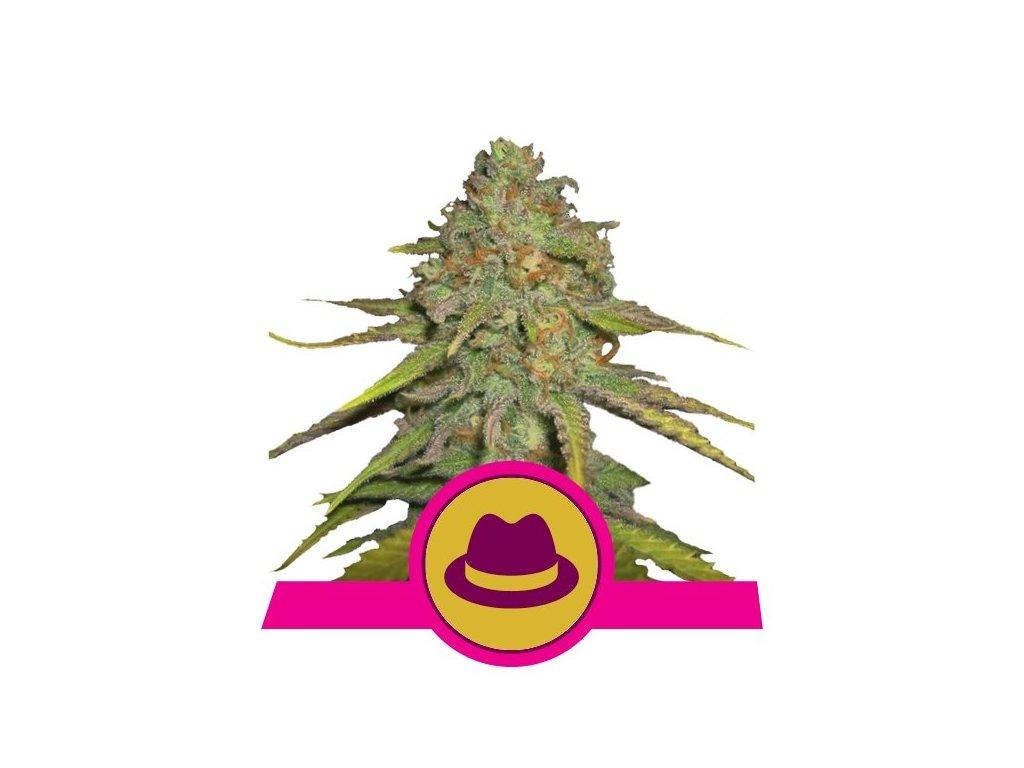 Royal Queen Seeds O.G. Kush, feminizovaná semena konopí, 3ks
