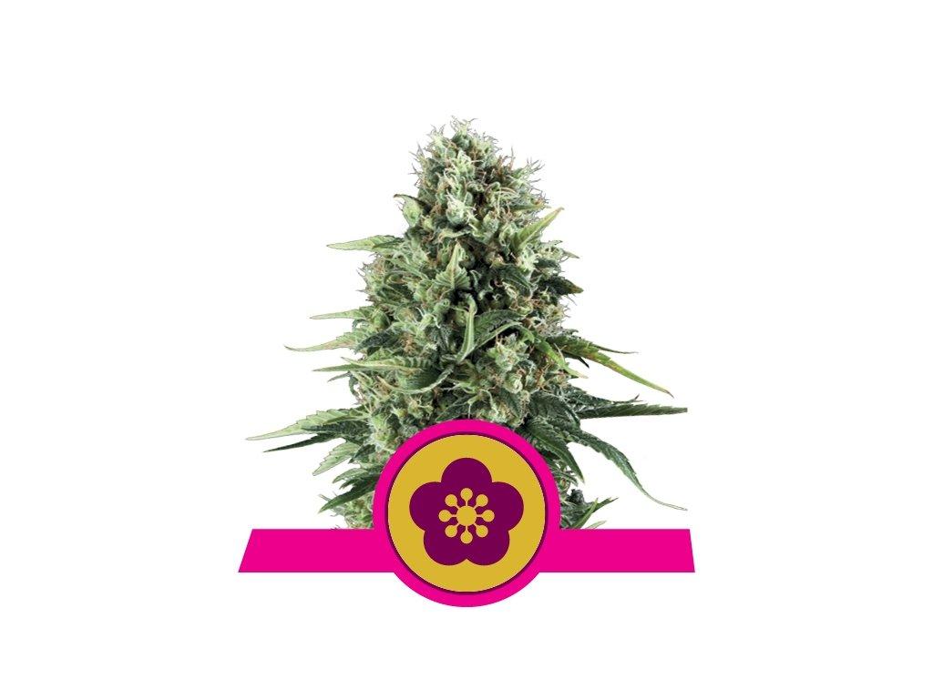 Royal Queen Seeds Power Flower, feminizovaná semínka konopí, 10ks