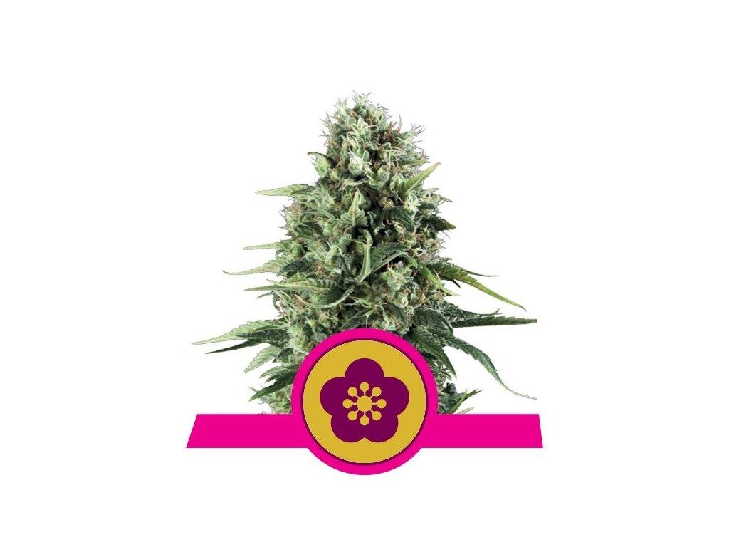 Royal Queen Seeds Power Flower, feminizovaná semena marihuany, 5ks