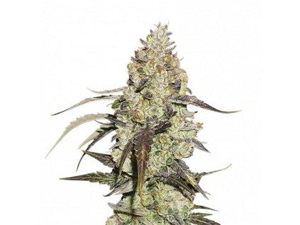 Seedstockers Runtz Velké balení, feminizovaná semínka marihuany, 100ks