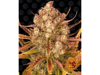 Barney's Farm Dos Si Dos Auto, feminizovaná, samonakvétací semena marihuany, 3ks