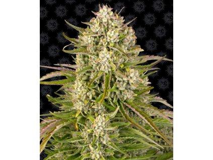 Barney's Farm Wedding Cake Auto, feminizovaná semena marihuany, samonakvétací, 5ks