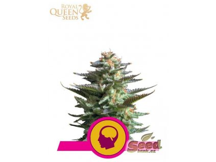 Royal Queen Seeds Amnesia Haze, feminizovaná semena marihuany, 10ks