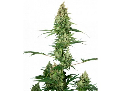 Sensi Seeds Silver Fire, feminizovaná semena marihuany, 3ks