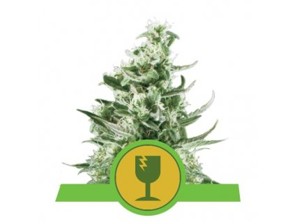Royal Queen Seeds Royal Critical Automatic, feminizovaná semínka marihuany, samonakvétací, 10ks