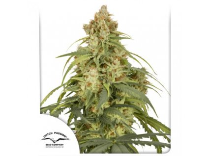 Dutch Passion Auto CBD-Victory, feminizovaná semena marihuany, samonakvétací, 3ks