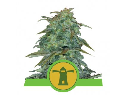 Royal Queen Seeds Royal Haze Automatic, feminizovaná semínka marihuany, samonakvétací, 10ks