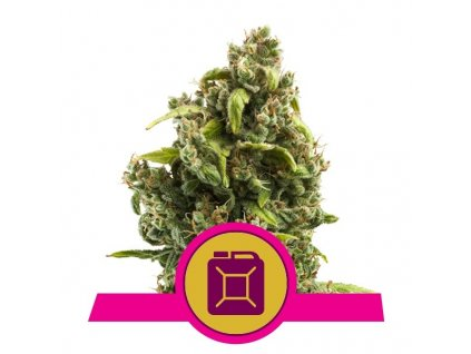 Royal Queen Seeds Sour Diesel, feminizovaná semínka marihuany, 10ks