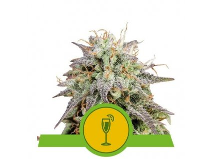 mimosa autoflowering 14571 3 20210225124338