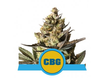 royal queen seeds royal cbg automatic