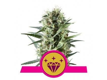 Royal Queen Seeds Special Kush #1, feminizovaná semena konopí, 10ks