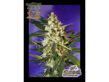 Sweet Seeds Auto Fast Bud #2, feminizovaná semena konopí, samonakvétací, 4ks