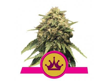 Royal Queen Seeds Special Queen #1, feminizovaná semena marihuany, 10ks