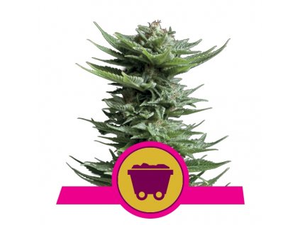 Royal Queen Seeds Shining Silver Haze, feminizovaná semínka marihuany, 10ks