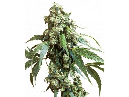 Sensi Seeds Jack Flash #5, feminizovaná semínka marihuany, 10ks