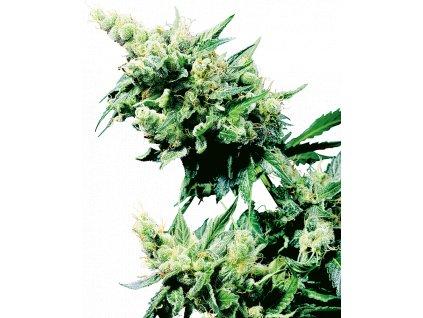 Sensi Seeds Hash Plant, regulérní semínka marihuany, 10ks