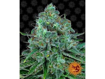 Barney's Farm Critical Kush, feminizovaná semínka marihuany, 10ks
