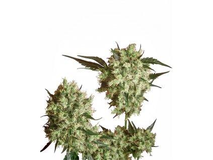 Sensi Seeds Marley's Collie, regulérní semínka marihuany, 10ks