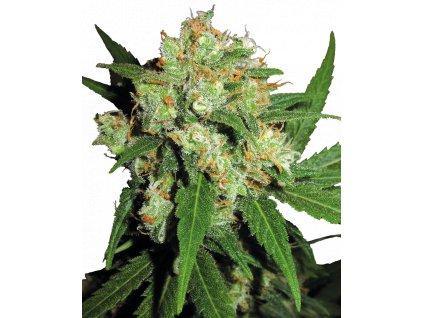 Sensi Seeds Sensi Skunk, regulérní semena marihuany, 10ks