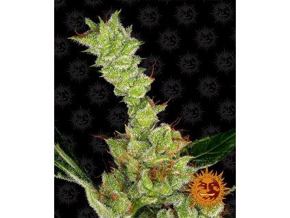 Barney's Farm Dr Grinspoon, feminizovaná semínka marihuany, 10ks