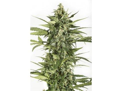 Dinafem Cheese Autoflowering, feminizovaná konopná semínka, samonakvétací, 10ks