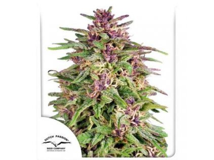 Dutch Passion Frisian Dew, feminizovaná semena marihuany, 5ks