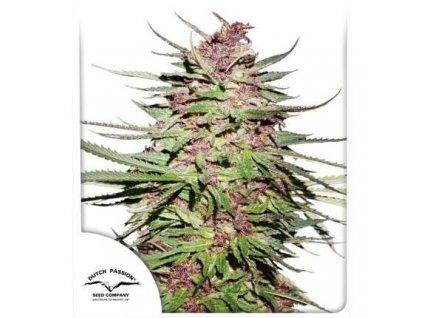 Dutch Passion Purple #1, feminizovaná konopná semínka, 10ks