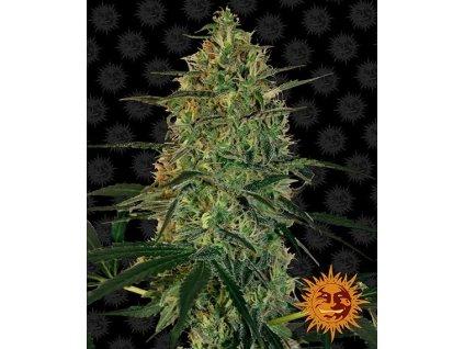 Barney's Farm Malana Bomb Auto, feminizovaná semena marihuany, samonakvétací, 5ks