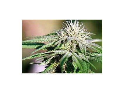 Barney's Farm Night Shade, feminizovaná semínka marihuany, 10ks