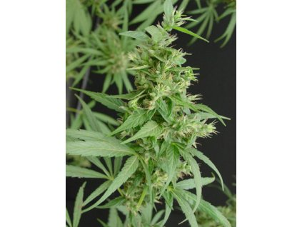 Mr. Nice Seeds Neville´s Haze, regulérní semínka marihuany, 18ks
