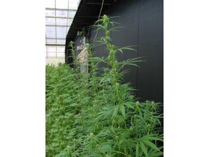 Mr. Nice Seeds Neville's Haze x Mango, regulérní semínka konopí, 18ks