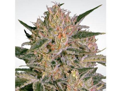 Paradise Seeds Nebula II CBD, feminizovaná semínka marihuany, 10ks