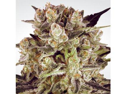 Paradise Seeds Durga Mata II CBD, feminizovaná semínka marihuany, 10ks