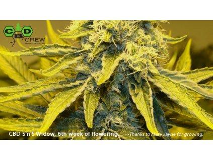 CBD Crew CBD Sweet and Sour Widow, regulérní konopná semínka, 5ks