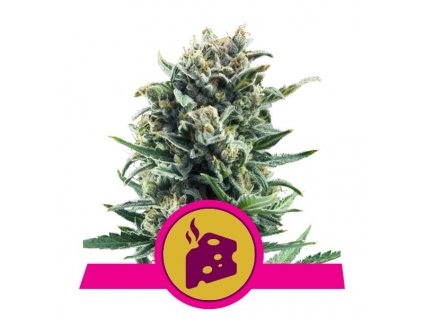 Royal Queen Seeds Blue Cheese, feminizovaná semínka marihuany, 10ks