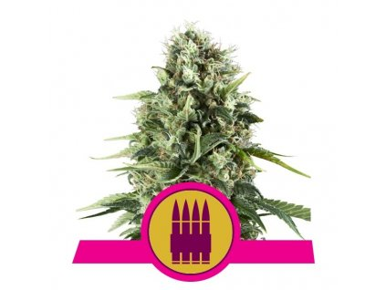 Royal Queen Seeds Royal AK, feminizovaná semínka marihuany, 10ks