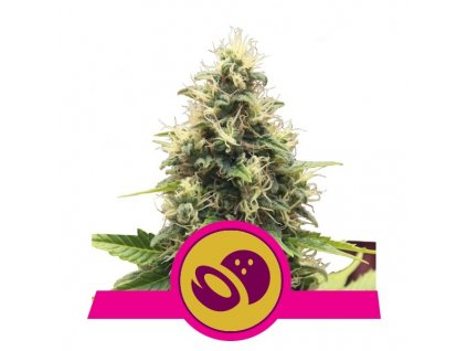 Royal Queen Seeds Somango XL, feminizovaná semínka marihuany, 10ks