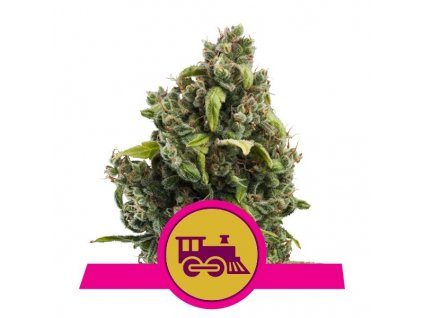 Royal Queen Seeds Candy Kush Express, feminizovaná semínka marihuany, fast, 10ks
