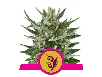 Royal Queen Seeds Speedy Chile, feminizovaná semínka marihuany, fast, 10ks