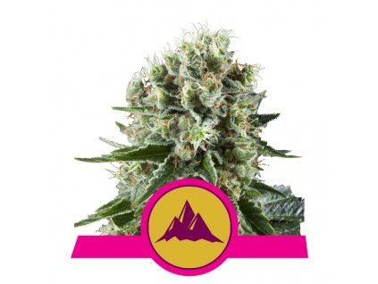 Royal Queen Seeds Critical Kush, feminizovaná semínka marihuany, 10ks