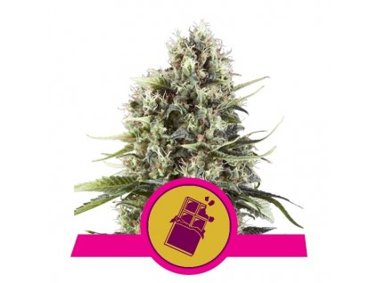 Royal Queen Seeds Chocolate Haze, feminizovaná semínka marihuany, 10ks