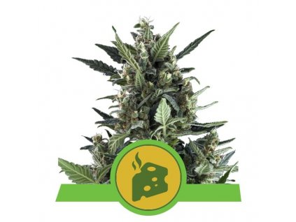 Royal Queen Seeds Blue Cheese Automatic, feminizovaná semínka marihuany, samonakvétací, 10ks