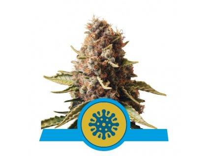 Royal Queen Seeds Euphoria, feminizovaná semínka marihuany, 10ks