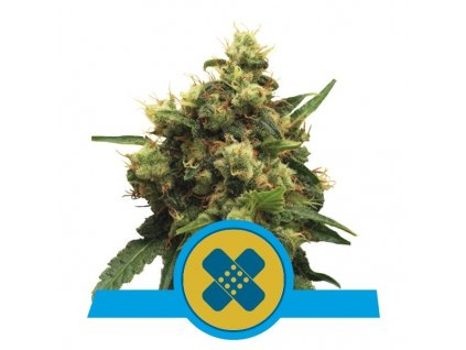Royal Queen Seeds Painkiller XL Medical, feminizovaná semínka marihuany, 10ks