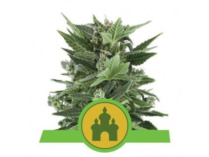 Royal Queen Seeds Royal Kush Automatic, feminizovaná semínka marihuany, samonakvétací, 10ks